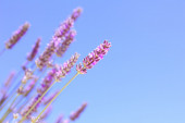 Blooming lavender flowers — Stock Photo