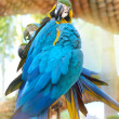 Parrot feathers brushing. — Stock Photo #68942413