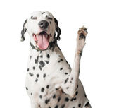 Dalmatian with tongue hanging out waves its paw. — Stock Photo