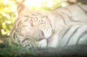 White Tiger Lying Down — Stock Photo