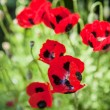 Lot of red poppy flowers in summer. with copy space — Stock Photo #78313048
