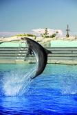 Bottlenose dolphin jumping high — Stock Photo