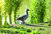 Greylag Goose standing near water — Stock Photo
