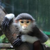 Langur in a zoo — Stock Photo