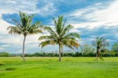 Coconut palm tree in green rice fields — Stock Photo