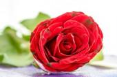 Rosa roja — Foto de Stock