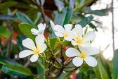 Frangipani flowers — Stock Photo