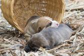 Pit bull puppy dog  — Stock Photo