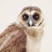 Close up owl — Stock Photo