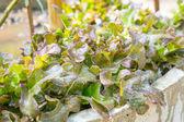 Fresh lettuces — Stock Photo