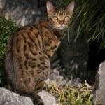 Bengal Cat in japanese Garden — Stock Photo #65824361