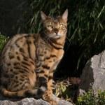 Bengal Cat in japanese Garden — Stock Photo #65827069