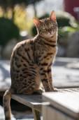 Bengal Cat in Garden — Stock Photo