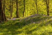 Woodland Of Bluebells — Stock Photo