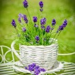 Lavender — Stock Photo #65310557
