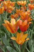 Orange Tulips — Stockfoto