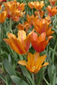 Tulipes orange — Photo