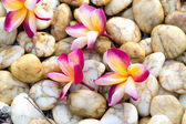 Pink plumeria flowers on pebbles — Stock Photo