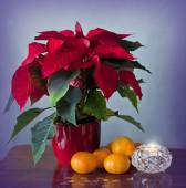 Winter rose, tangerines and candle — Stock Photo