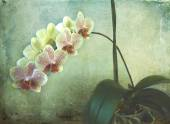 Phalaenopsis orchid with bloomy spike on grunge texture — Stock Photo