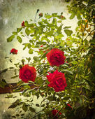 Vintage red roses — Stock Photo