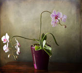 Phalaenopsis orchid with bloomy spikes on grunge texture — Stock Photo