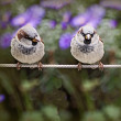 Two sparrows standing on a cable — Stock Photo #66253323