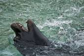 Young sea lion playing in water — Stock Photo