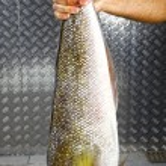 Man holding big raw sea fish — Stock Photo #69313097
