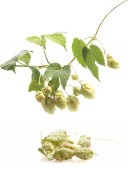 Hops isolated on a white background — Stock Photo