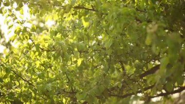 Sun shine through the green leaves on a tree blowing wind — Stock Video
