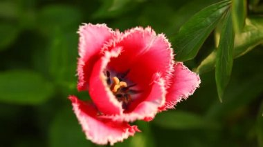 Red tulip close up — Stock Video