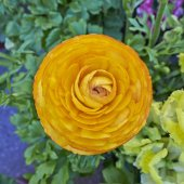 Orange buttercup flower closeup — Foto Stock