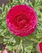 Red buttercup flower closeup — Stock Photo