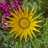 Yellow gazania flower closeup — Stock Photo