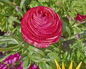 Red buttercup flower closeup — Zdjęcie stockowe