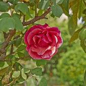 Rose flower closeup — Stock Photo