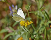 Butterfly pollinating wild daisy flower — Stock Photo