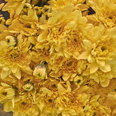 Colorful chrysanthemum flowers — Stock Photo