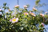 Dog-rose flowers — Stock Photo