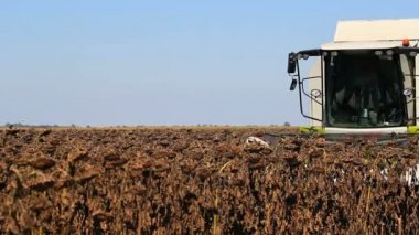 Combine harvester in a sunflower field — Stock Video
