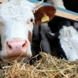 Cute cow in close-up — Stock Video #61858101