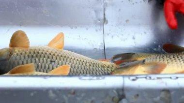 Carp from the fish farm — Stock Video