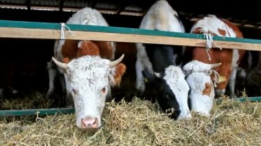 Milchkühe im stall — Stockvideo