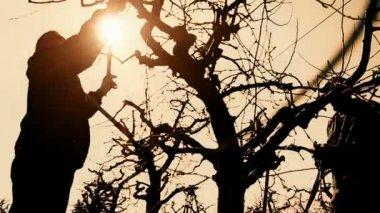 Pruning fruit trees — Stock Video