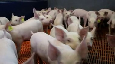 Piglets on modern farm — Stock Video
