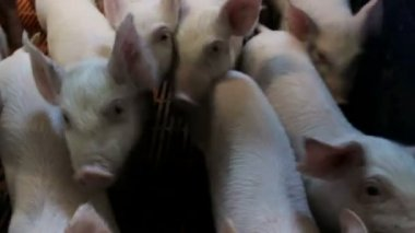 Breeding piglets — Stock Video