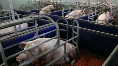 Breeding sows — Stock Video
