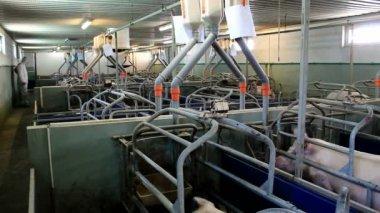 Contemporary pig farm — Stock Video