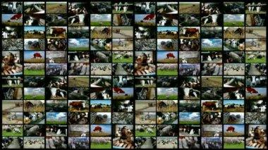 Cattle breeding-split screen — Stockvideo